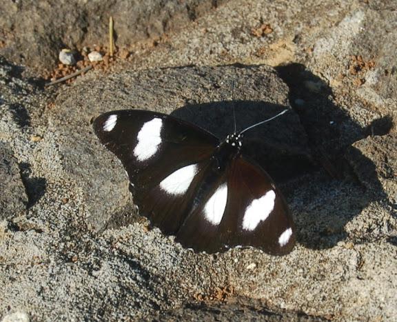 Hypolimnas misippus LINNAEUS, 1764. Parc de Mantadia-Andasibé (Périnet, 100 km à l'est d'Antananarivo), 14 février 2011. Photo : T. Laugier