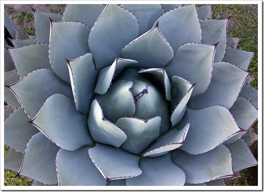 111119_Poots_Agave-parryi_003