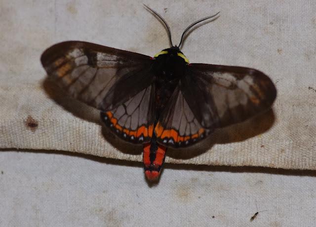 Arctiidae : Pericopini : Dysschema marginalis (WALKER, 1855). Los Cedros, 1400 m, Montagnes de Toisan, Cordillère de La Plata (Imbabura, Équateur), 21 novembre 2013. Photo : J.-M. Gayman