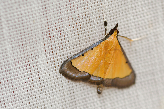 Crambidae. Ebogo (Cameroun), 20 avril 2013. Photo : Daniel Milan. Voir : http://www.africanmoths.com/pages/CRAMBIDAE/UNIDENTIFIED/9168.html