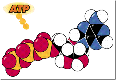 ATP is the high energy phosphate molecule