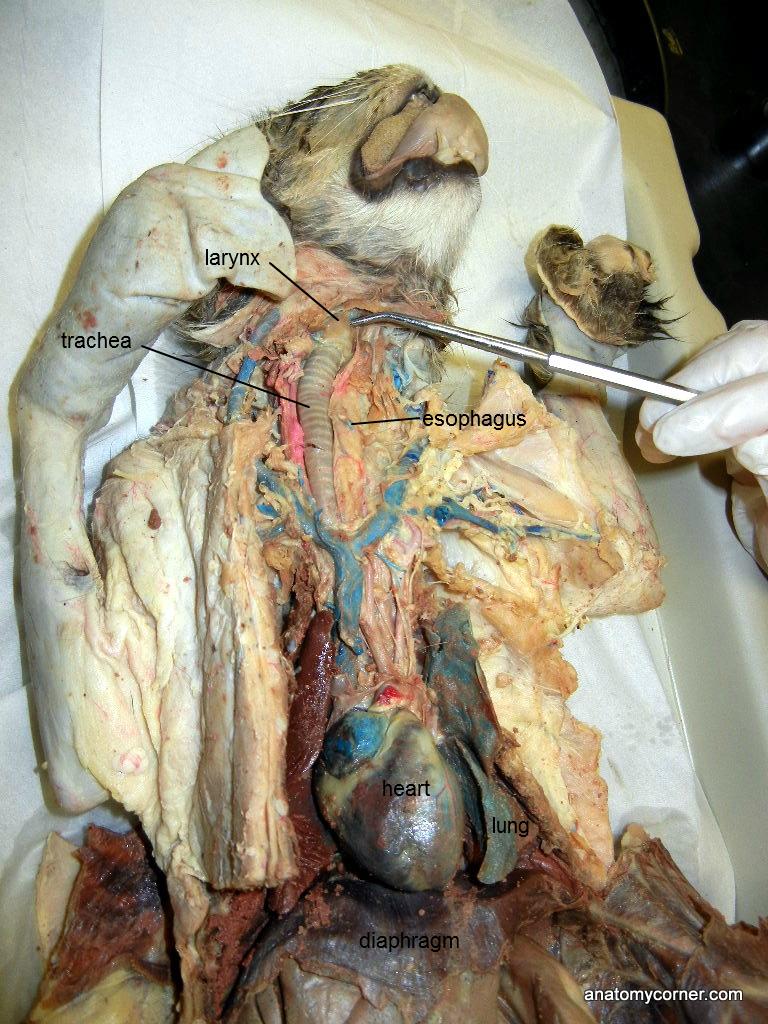 Larynx L