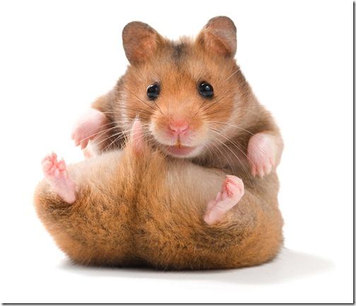 hamster grande imagen (11)