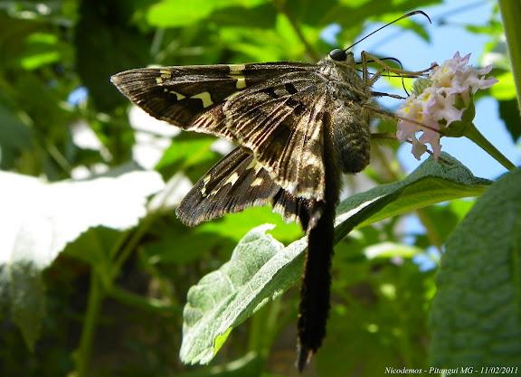 Probablement : Codatractus aminias (HEWITSON,1867). Pitangui (MG, Brésil), 11 février 2011. Photo : Nicodemos Rosa