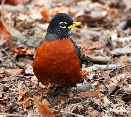 4. robin Central Park-kab