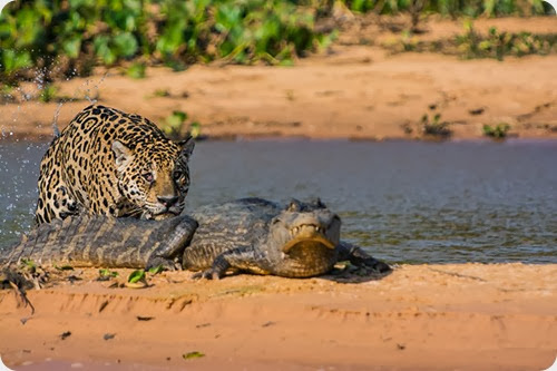 jaguar vs caiman4
