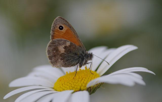 Coenonympha pamphilus( LINNAEUS, 1758). Les Hautes-Lisières (Rouvres, 28), 11 juin 2012. Photo : J.-M. Gayman