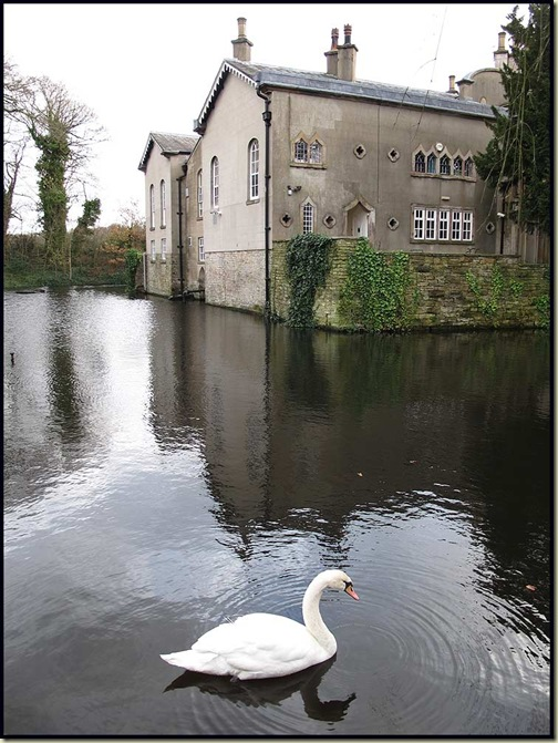 Mute Swan in the moat of Wigan Golf Club's manor house HQ