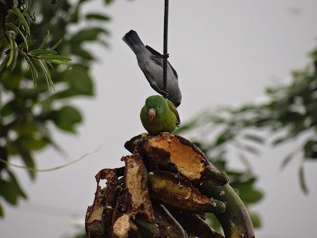 33. Papagal verde.JPG