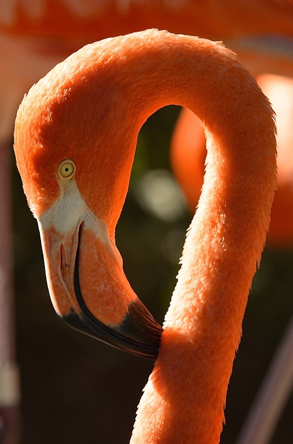 Pink Flamingo by Ed Hanson - Animals Birds ( bird, neck, zoo, pink, long, close-up )