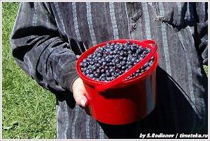 Черника. Фото С. Родионова. www.timeteka.ru