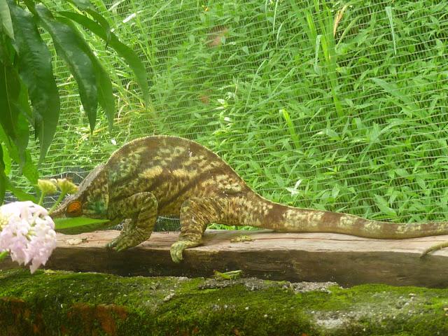 Caméléon Endormi ou Caméléon panthère, Furcifer pardalis (CUVIER, 1829). Parc à papillons entre Andasibe et Tananarive (Madagascar), 1er janvier 2014. Photo : J. Marquet