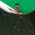 Leaf-footed bug (immature)