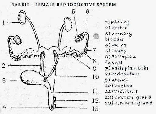 Female Rabbit Reproductive Organs Related Keywords Suggestions