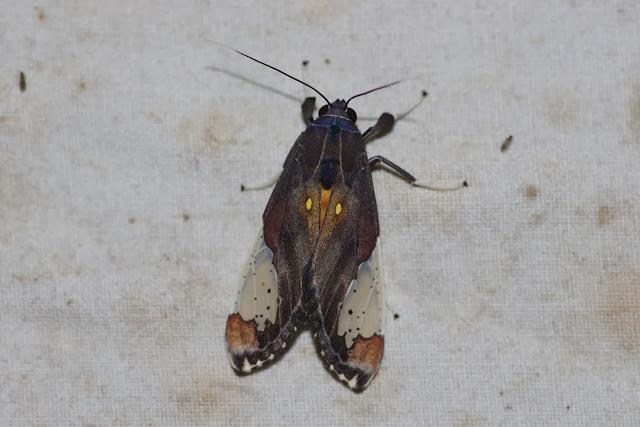 Arctiinae : Phaegopterini : Bertholdia flavidorsata HAMPSON, 1901. Los Cedros, 1400 m, Montagnes de Toisan, Cordillère de La Plata (Imbabura, Équateur), 18 novembre 2013. Photo : J.-M. Gayman