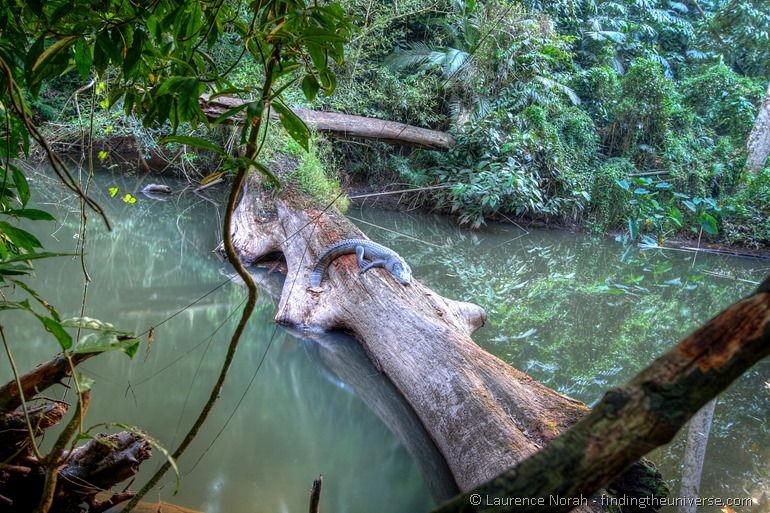 Siamese crocdile Khao Yai National Park Thailand
