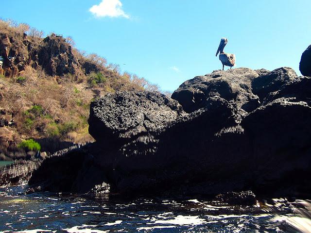 El dichoso pelícano y las rocas