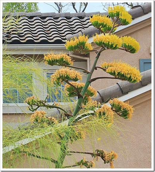 130625_flowering-Agave-parryi_04