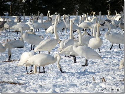 lots of Swans