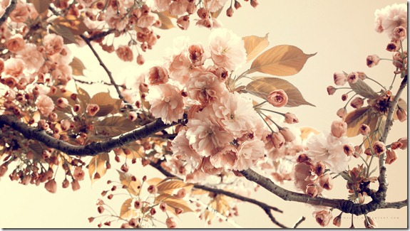 Cherry_Flowers_Wallpaper_1920x1080_wallpaperhere