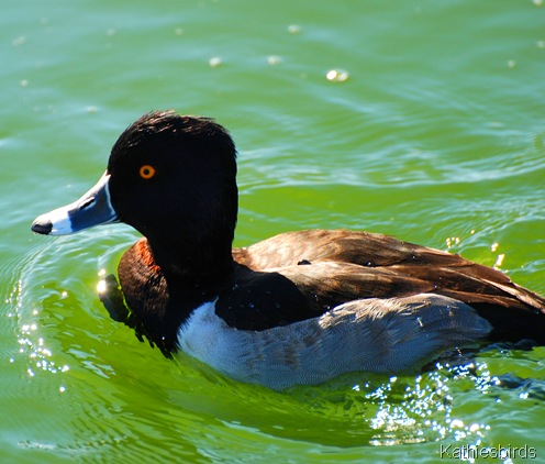 6. ringnecked duck-kab