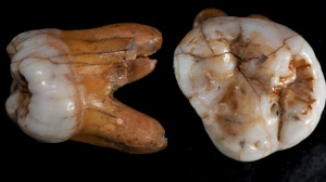 Denisovan Tooth.jpg