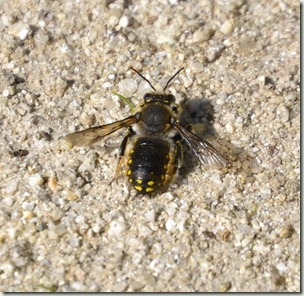 anthid male 3