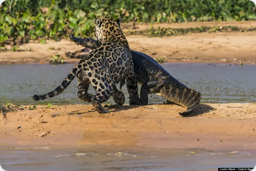 jaguar vs caiman8