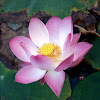 bloomed lotus flower