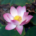 bloomed lotus flower