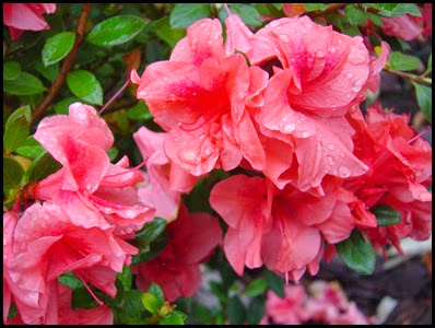 azalea-encore-autumn-princess
