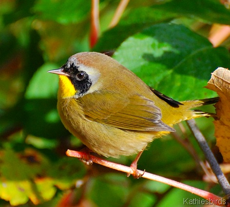 1. Common yellow-throat-kab