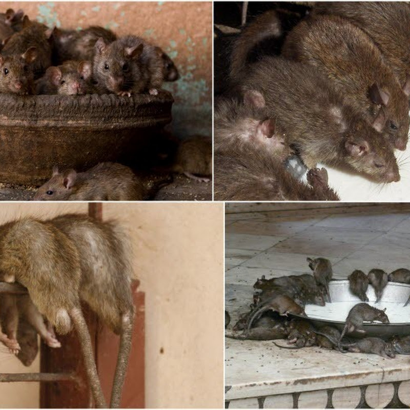 Karni Mata Rat Temple at Deshnoke, India
