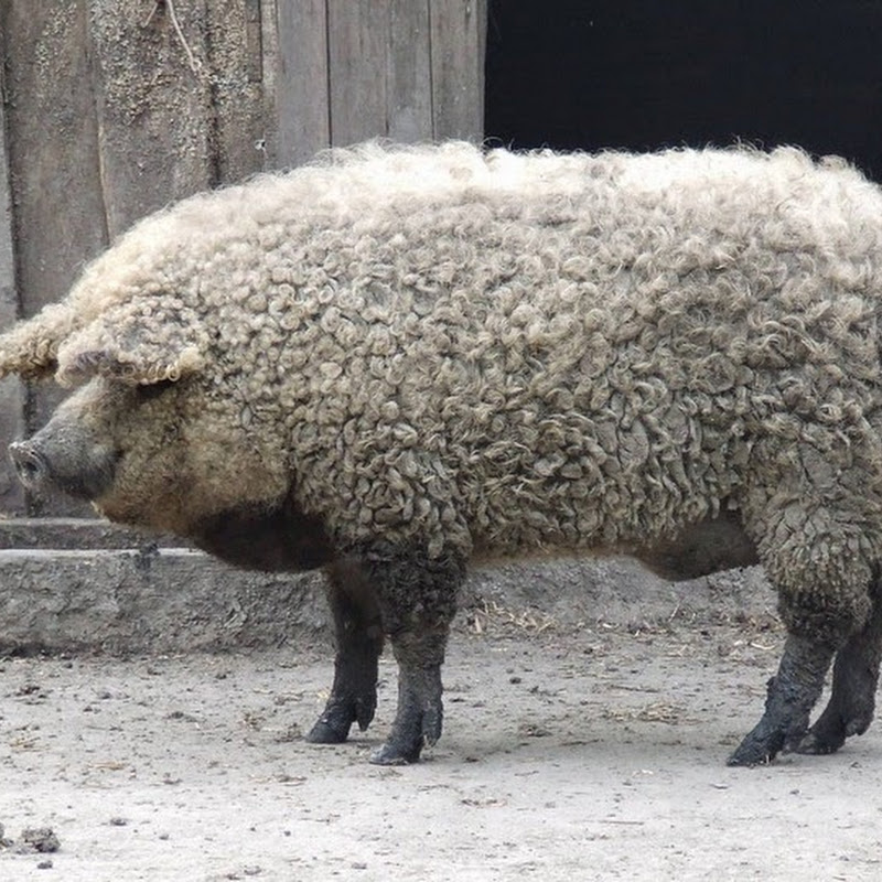 Mangalitsa, The Pig That Resembles a Sheep