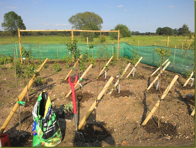 allotment fruit trees