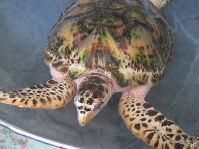 Bequia_turtlefarm_1