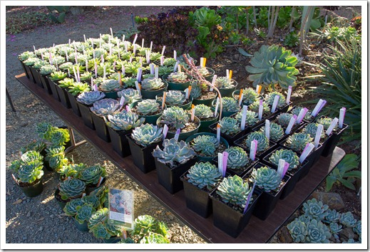 121013_RBG_fall_sale_echeveria-table