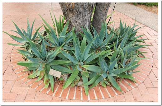 120728_ArizonaSonoraDesertMuseum_Aloe-striata