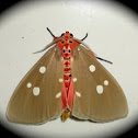 Red Tinolius Moth