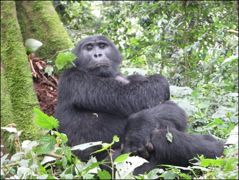 Mountain Gorilla Resting in Bwindi Impenetrable National Park