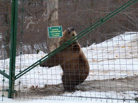 Sanctuarul de ursi LiBearty: ursoaica dansatoare Betsy