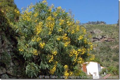 7728 La Laguna-Barranco del Laurel(Cerrajón arboreo)
