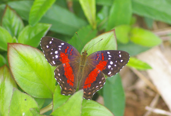 Anartia amathea LINNAEUS, 1758. Auberge des Orpailleurs (Guyane). 25 novembre 2011. Photo : J.-M. Gayman