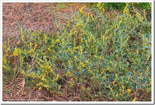 Succulents And More Acacias In Bloom At Uc Davis Arboretum