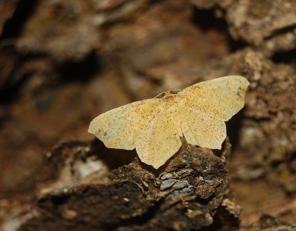 Geometridae : Ennominae. La Montagne d'Ambre (500 m), au sud d'Antsiranana, 3 février 2011. Photo : T. Laugier