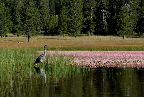 blue heron on Medicine Lake