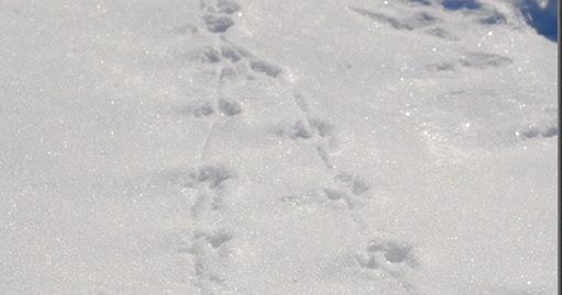 Eläimen Jäljet Lumessa
