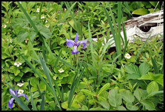 09c - Along the trail - Iris and Dogwood
