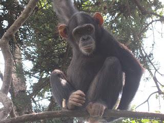 Chimpanzé (grand singe) en captivité dans l'enclos de l'Institut Jane Goodall à Goma. 2006.