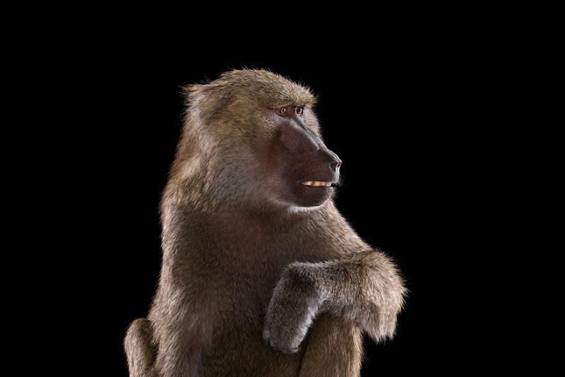 animal-photography-affinity-Brad-Wilson-baboon.jpeg